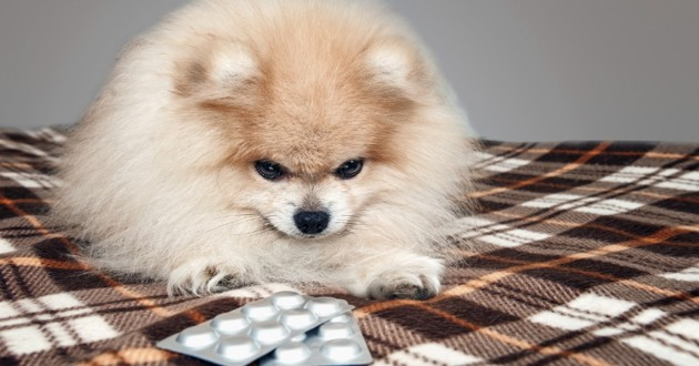 médicament chien