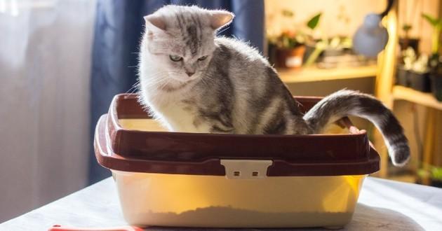 chat dans son bac à litière