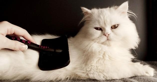 chat en train de se faire brosser