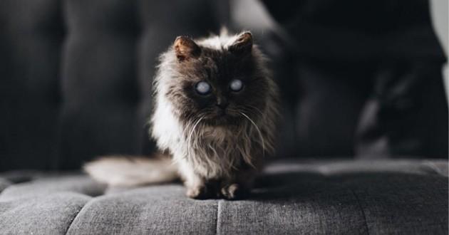 chat croisé munchkin persan aveugle