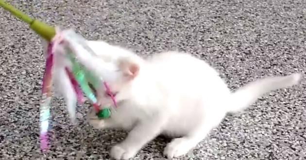 chaton albinos