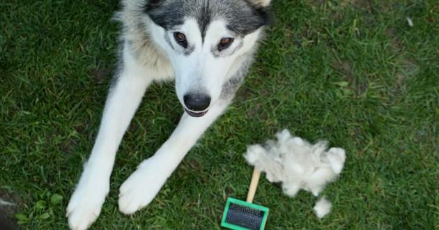 chien qui perd ses poils