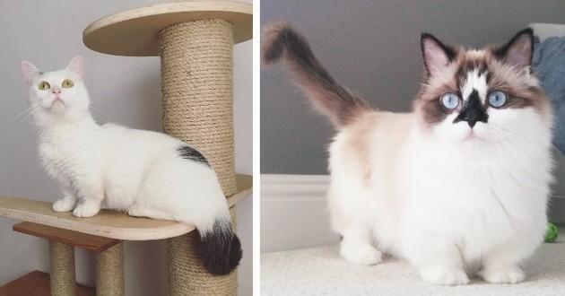 Des chats munchkins magnifiques