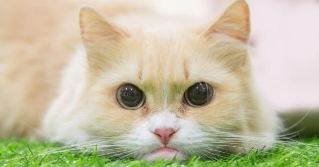 chat bébé munchkin