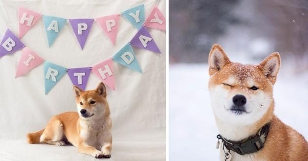 Nana, le Shiba Inu étoile montante du Web qui a fêté ses 2 ans