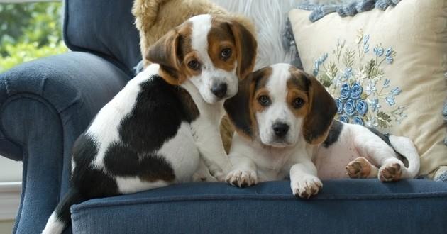 deux chiots sur un fauteuil