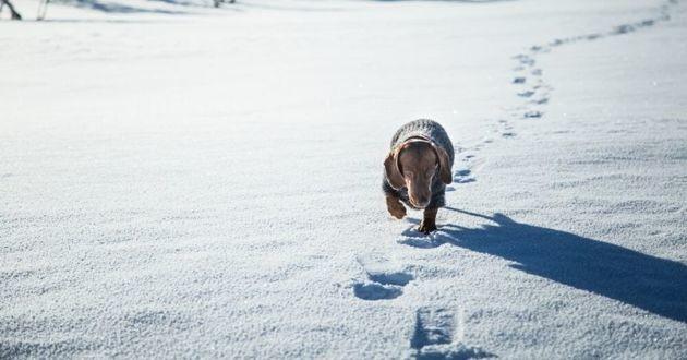 un teckel qui marche dans la neige