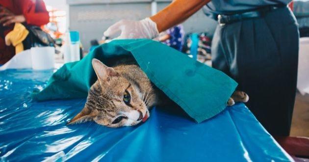 opération de chat