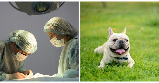 opération chienne bouledogue