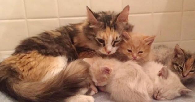 chatte écaille de tortue et chatons