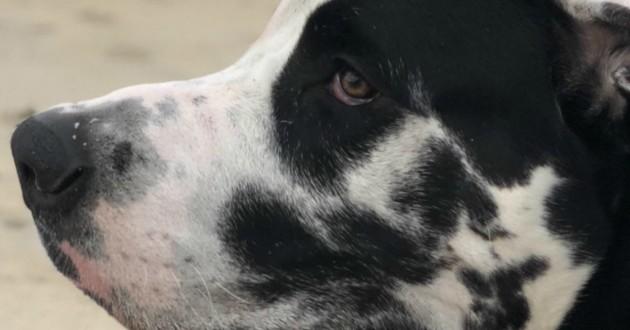 chien dogue allemand oreille