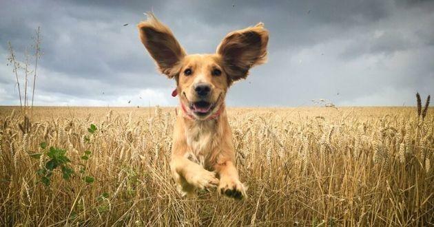 audition oreilles du chien