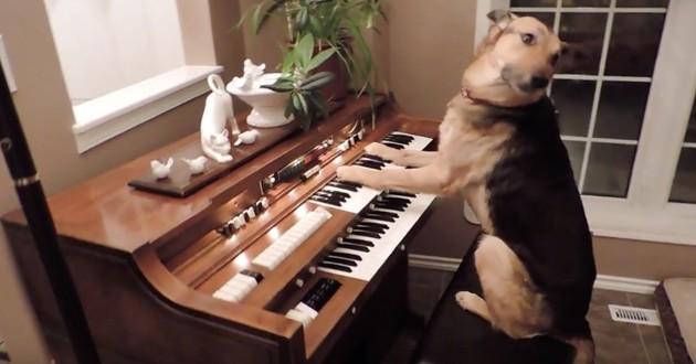 Ce chien buzze sur internet en jouant de l'orgue (vidéo)