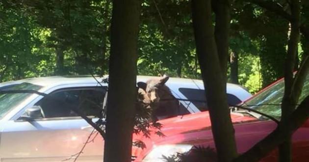 ours dans une voiture