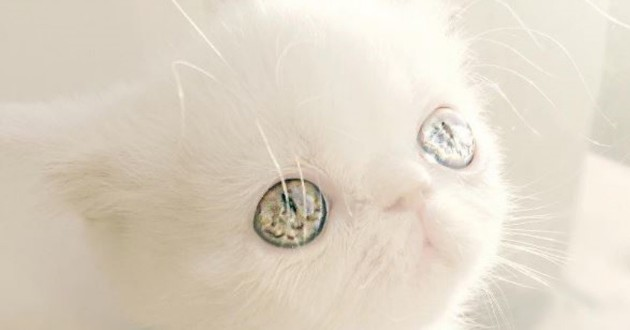 chat yeux vairons pam pam