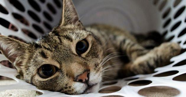 chat dans un panier à linge