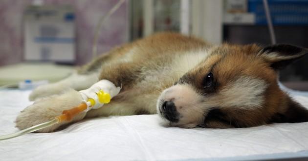 chiot malade avec une perfusion chez le vétérinaire