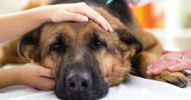 parvovirose chien malade vétérinaire