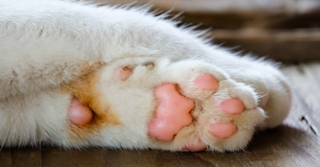 patte de chat blanc
