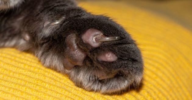 une patte de chat avec une griffe incarnée