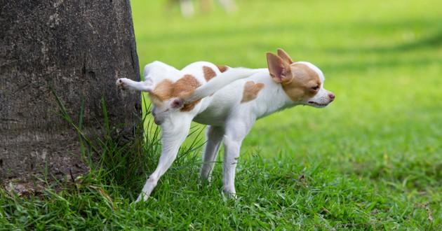 petit chien qui lève haut la patte pour uriner