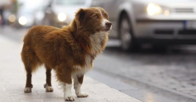 Yorkshire chien perdu