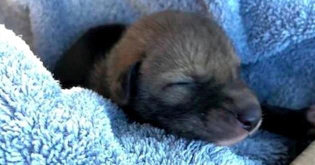 bébé coyote chiot