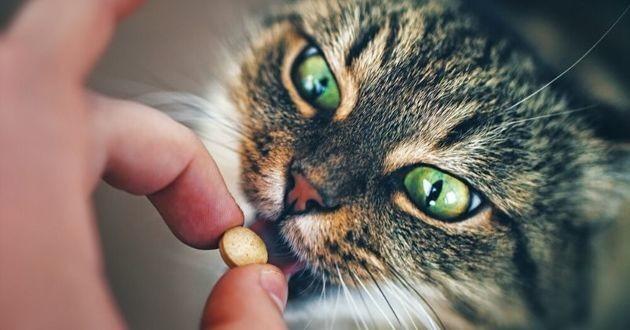 chat qui prend un médicament