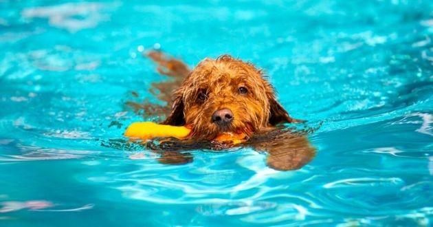 chien qui nage dans une piscine