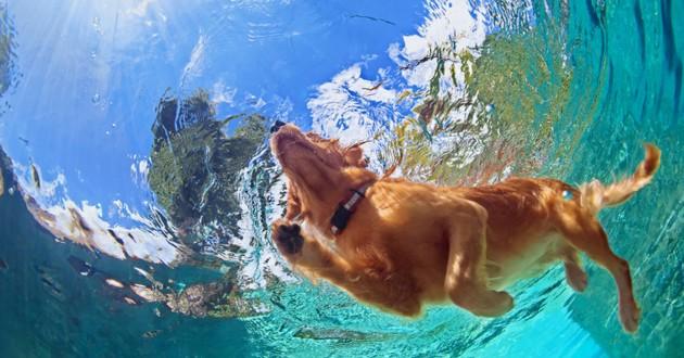 chien nage piscine