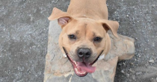 chienne pitbull adoption