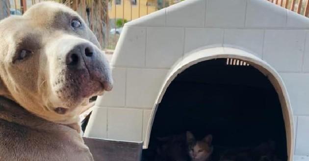 chien pitbull devant niche