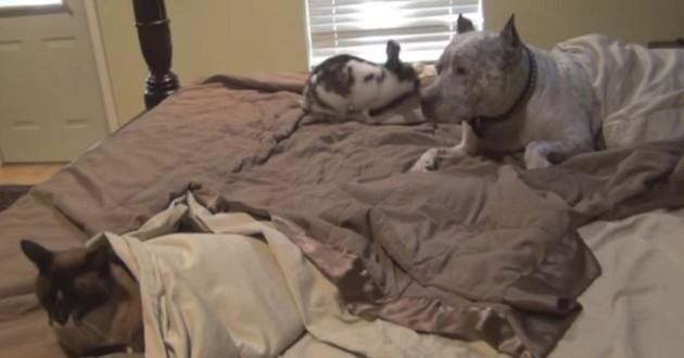 Pitbull chat et lapin sur un lit