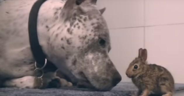 pitbull chien lapin