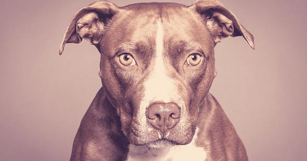 Portrait d'un Pitt Bull