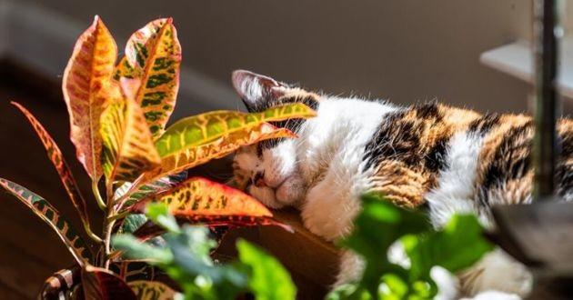 chat acné féline