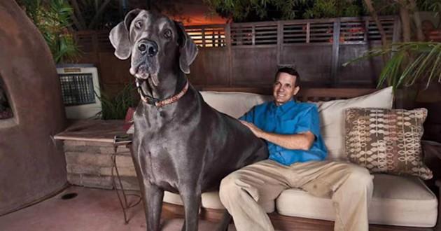 chien mastif grand