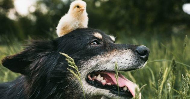 un chien noir avec un poussin sur la tête