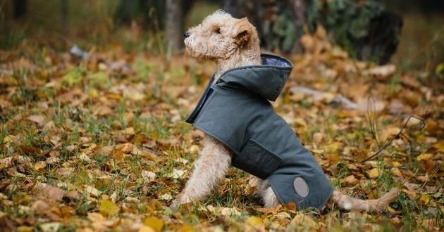 chien en manteau