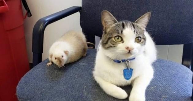 Un chat ami avec un rat