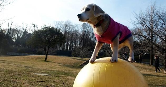Nouveau record pour Purin, reconnu chien le plus rapide du monde sur un ballon !
