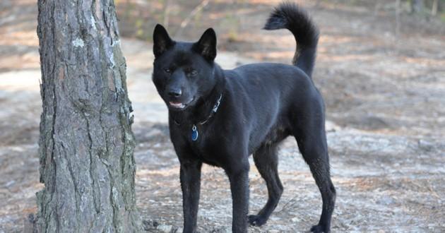 chien noir queue