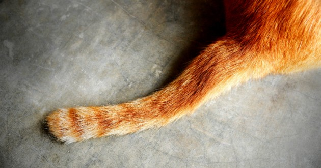 queue de chat roux