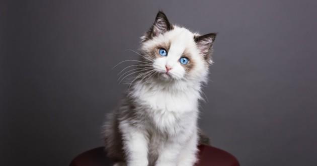 ragdoll yeux bleus mignon