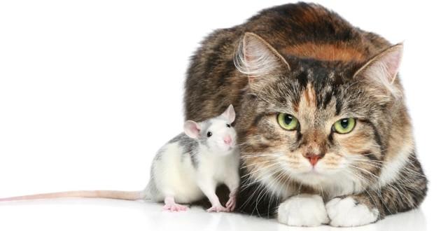 Ce chat a pour meilleur copain un rat ! (Vidéo)