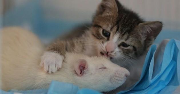 rat avec chaton