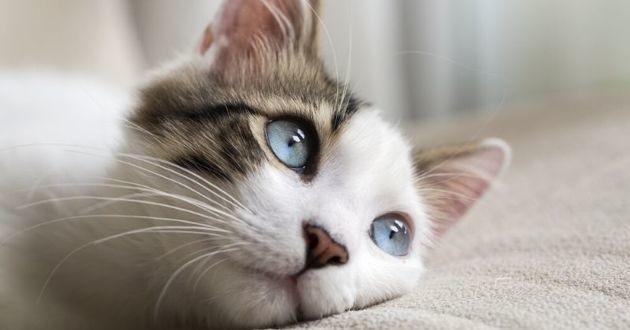 un chat aux yeux bleus