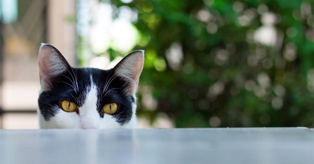 un chat noir et blanc avec un regard de tueur