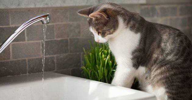 chat boit eau rivière