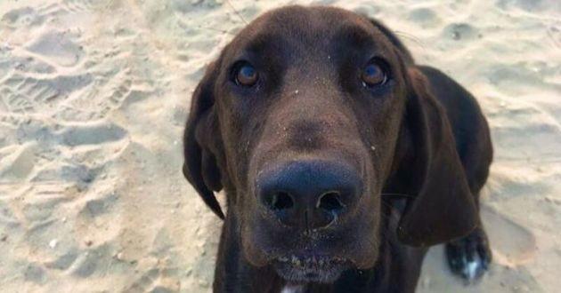 Ryder le croisé labrador basset hound